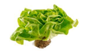 organic butter living lettuce